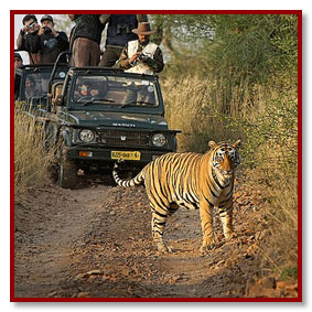 tiger in ranthambore rajasthan