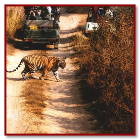 tiger safari - ranthambhore